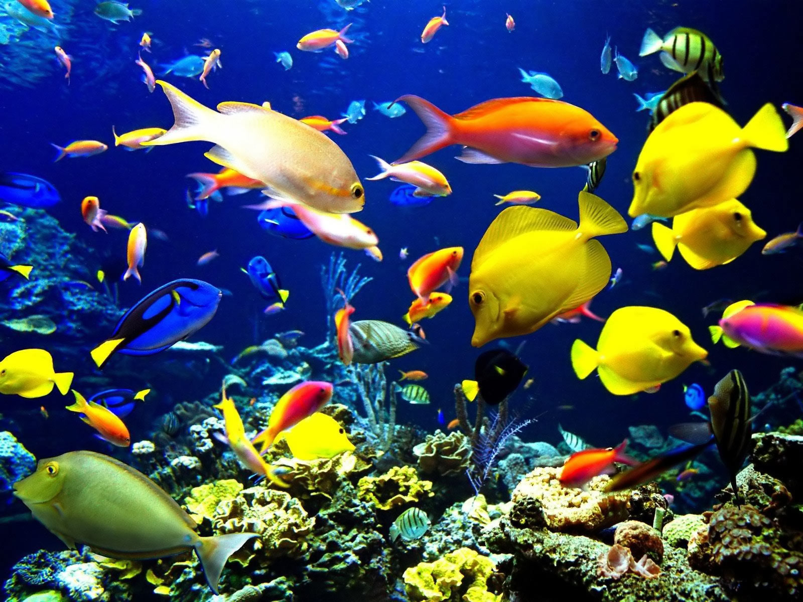 Tropical freshwater aquarium fish pictures just for sharing for Saltwater reef fish