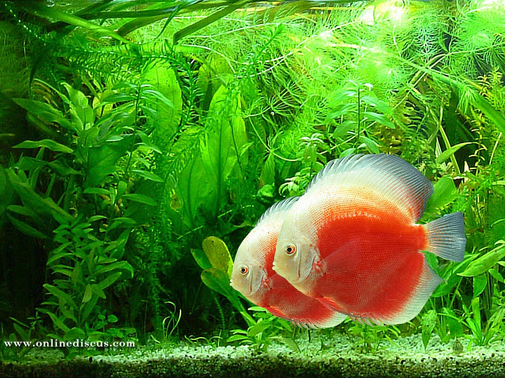 Discus fish wallpaper - Live tropical fish Guppy Fish Species