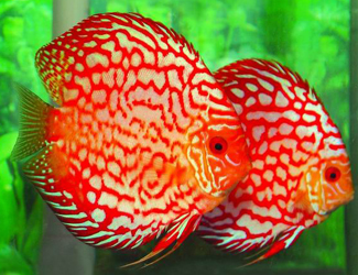 Types of discus fish live tropical fish for Discus fish types