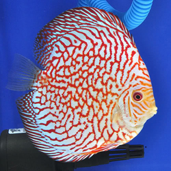 s-Pigeon Blood Discus2