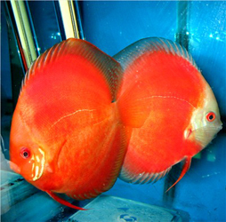 s-red discus1