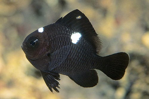 Domino damselfish