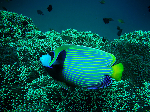 Cool Salt water Aquarium fish picture - Live tropical fish