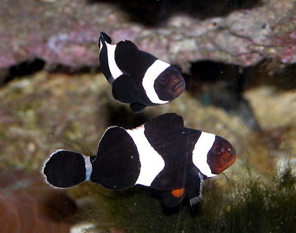 Clownfish - Live tropical fish