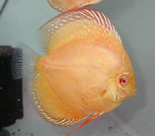 albino discus