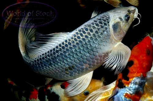 Introduction about koi fish live tropical fish for Koi fish net