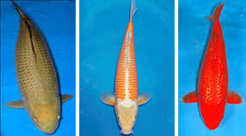 Types of koi fish live tropical fish for Koi carp varieties