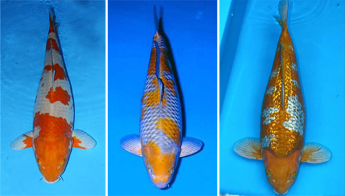 Types Of Koi Fish Live Tropical Fish