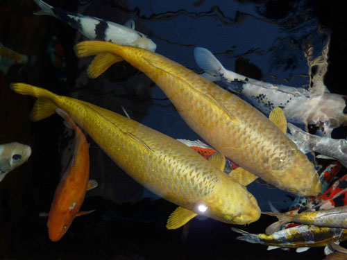 Types of koi fish live tropical fish for Live dragon koi fish