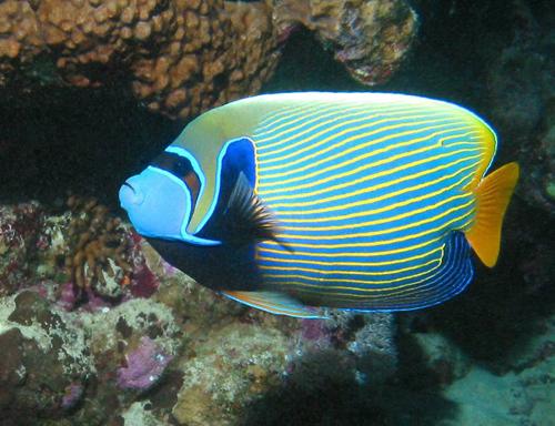 emperor angelfish   live tropical fish