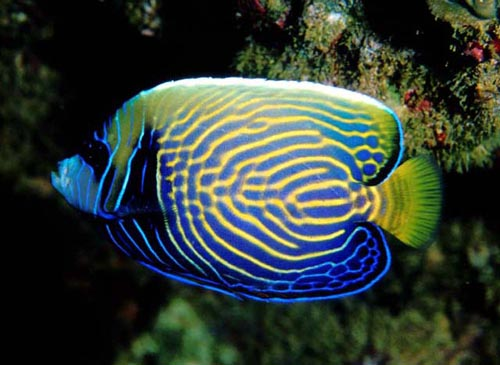 Emperor angelfish live tropical fish for Live tropical fish