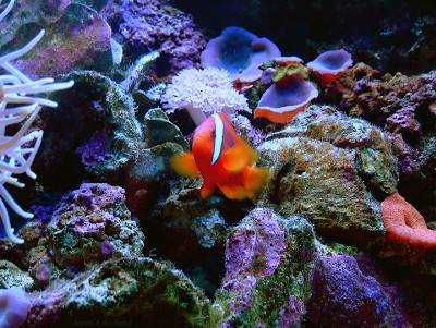 Tomato clownfish anemone - photo#20