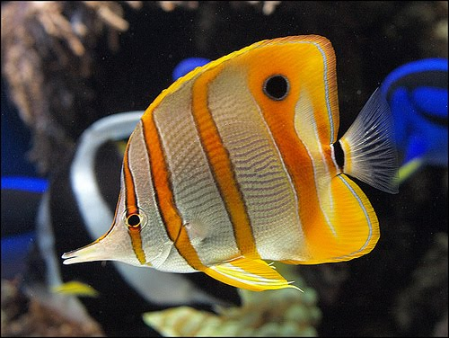 Copperband butterflyfish live tropical fish for Butterfly fish freshwater