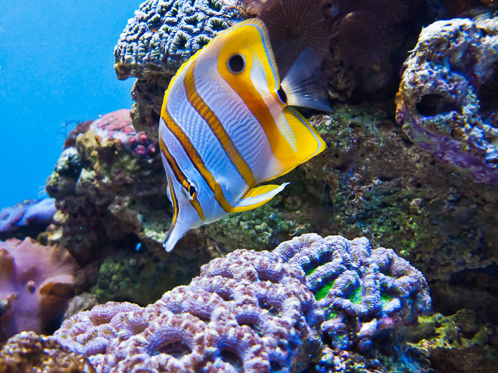 Copperband butterflyfish live tropical fish for Saltwater fish online
