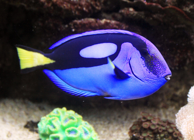 Livetropicalfish for Blue fish aquarium