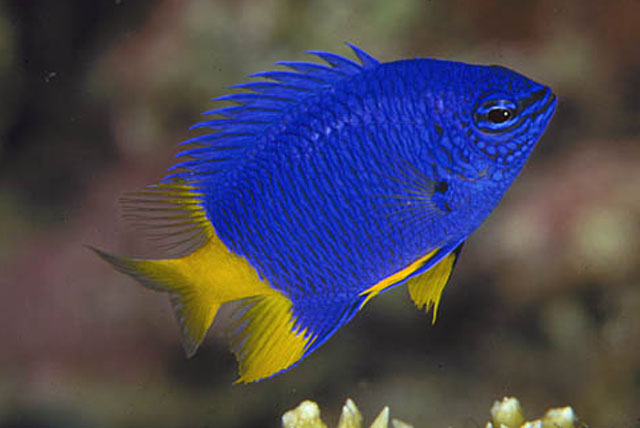 Blue damselfish live tropical fish for Aggressive saltwater fish