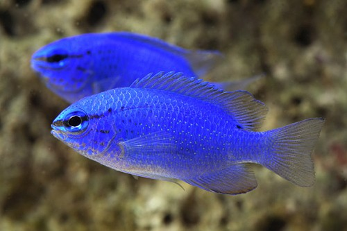 Saltwater fish live tropical fish for Blue saltwater fish