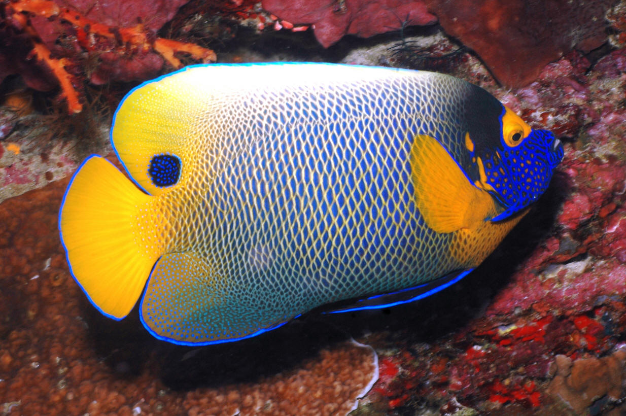 Livetropicalfish cool salt water aquarium fish picture for Coolest saltwater aquarium fish