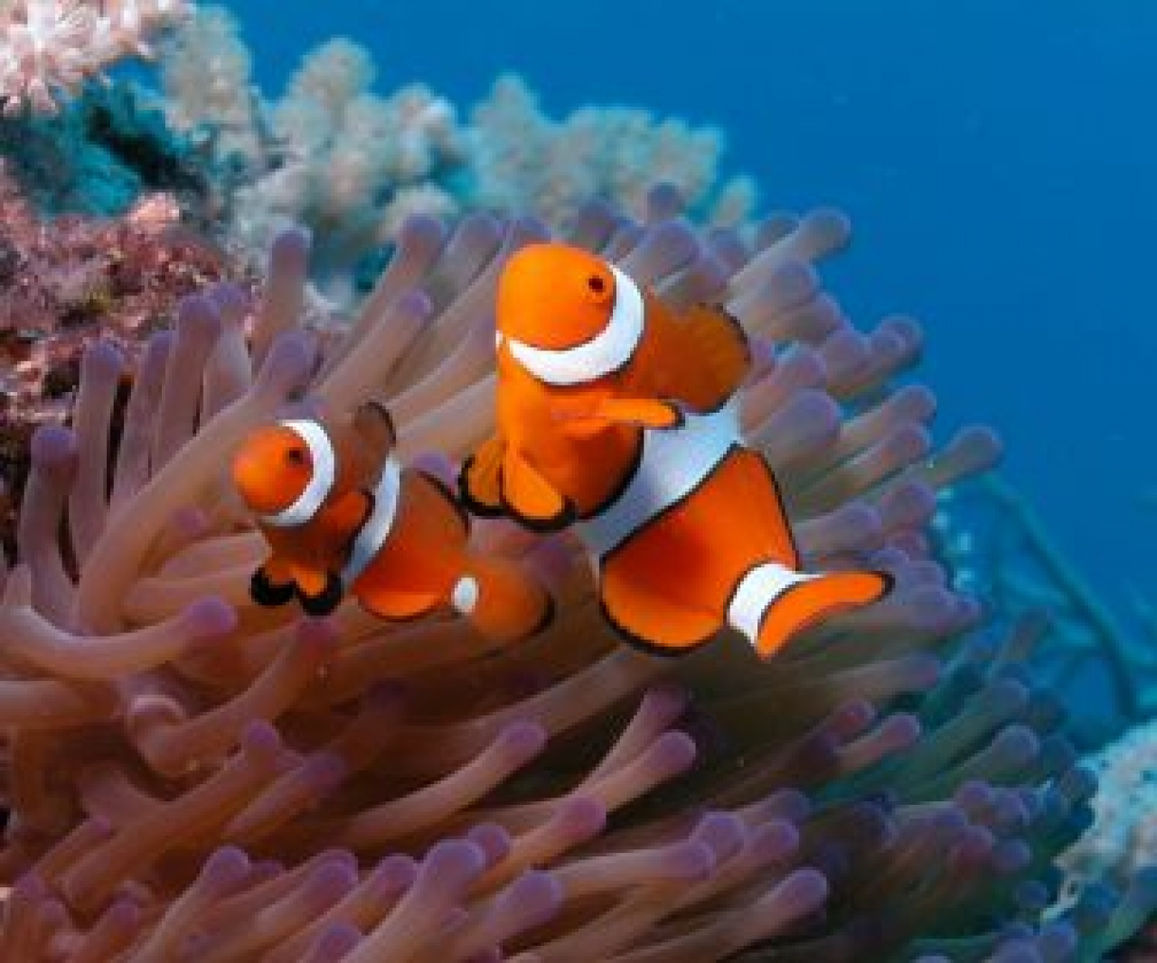 Livetropicalfish for Blue clown fish