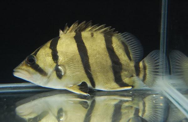Siamese tiger fish finescale tiger fish live tropical fish for Tiger striped fish