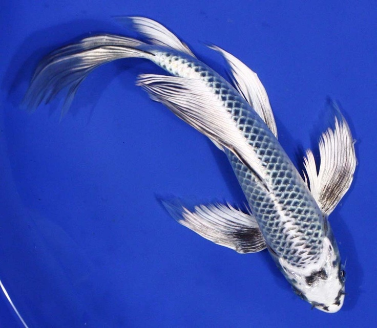 Butterfly koi live tropical fish for Live koi for sale