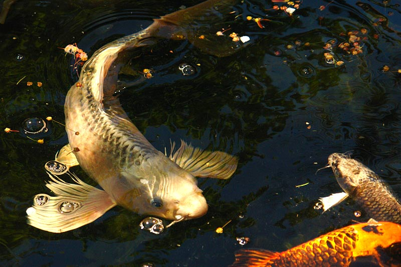 Butterfly koi live tropical fish for Real blue koi fish