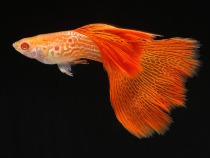 Albino-Red-Lace-Guppy