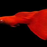 Albino Super Red