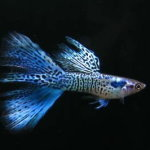 Blue guppy fish live tropical fish for Blue ribbon koi