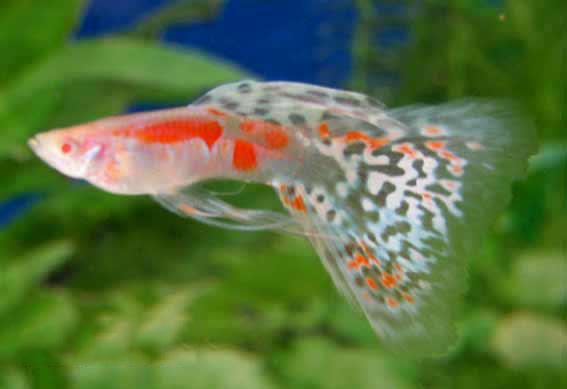 red koi angelfish