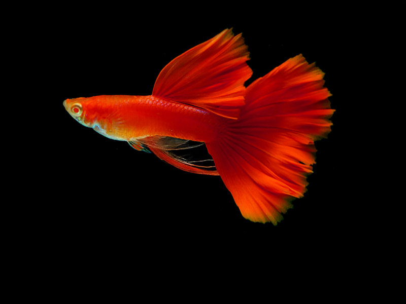 Type of guppy fish live tropical fish for Blue ribbon koi
