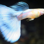 Japan Blue Guppy fish