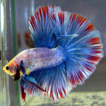Multicolor over-halfmoon betta