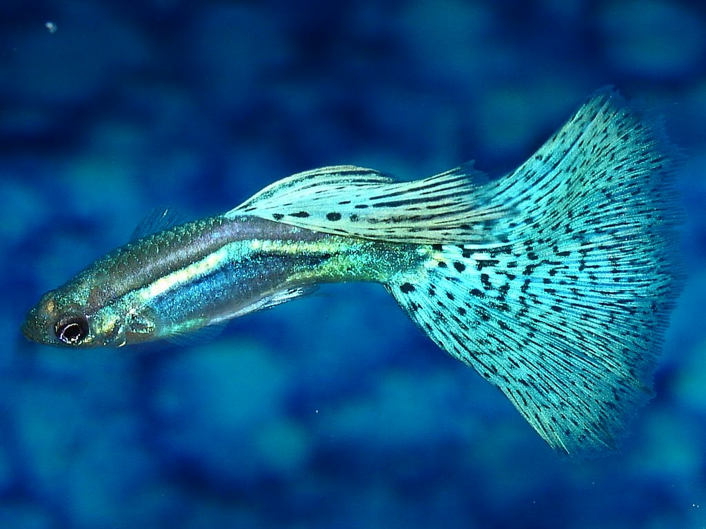Type of Guppy fish