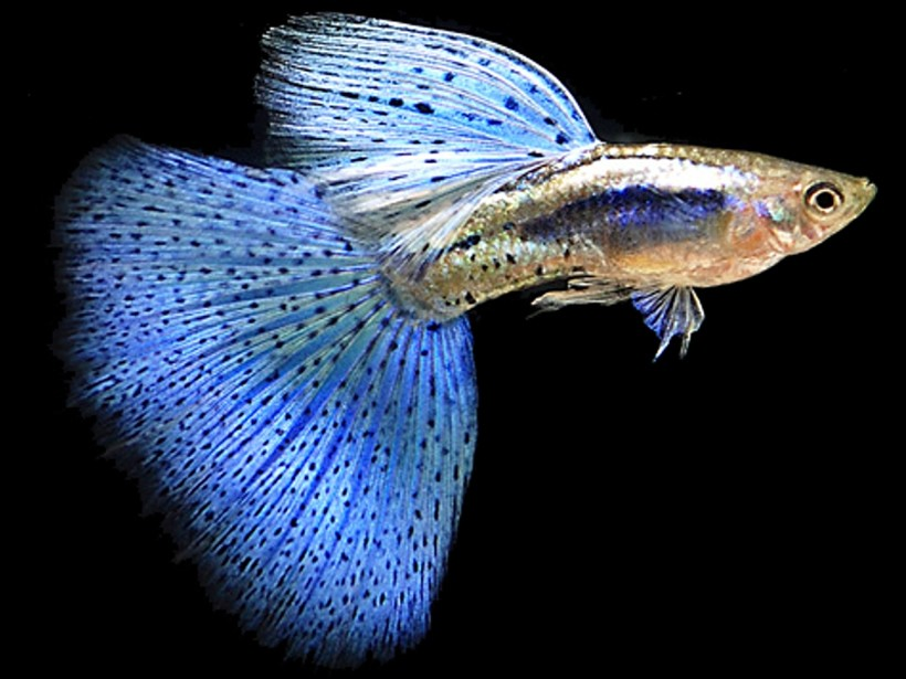 Guppy bing images for Live to fish