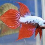 Spade betta fish