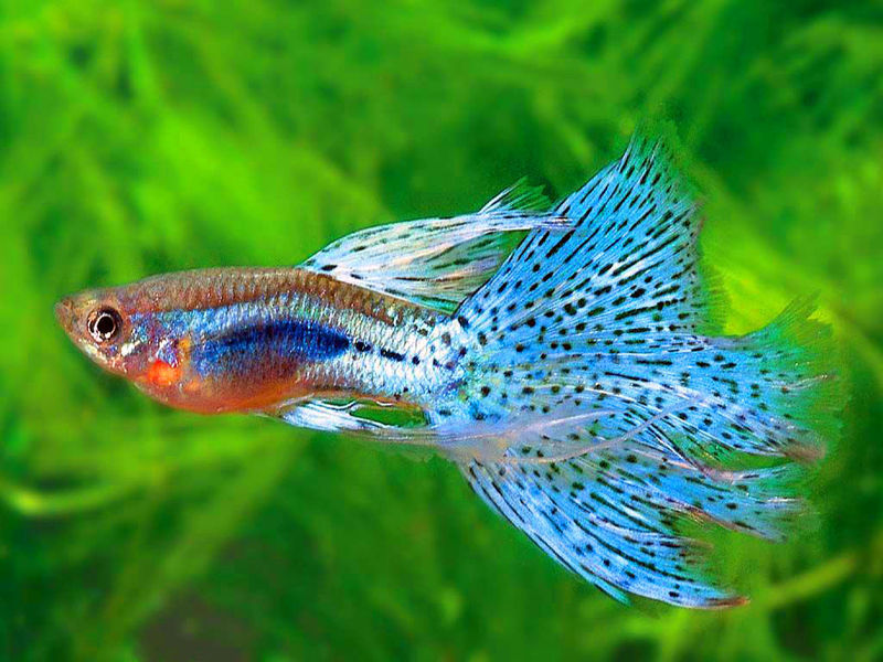 Blue Guppy Fish Live Tropical Fish
