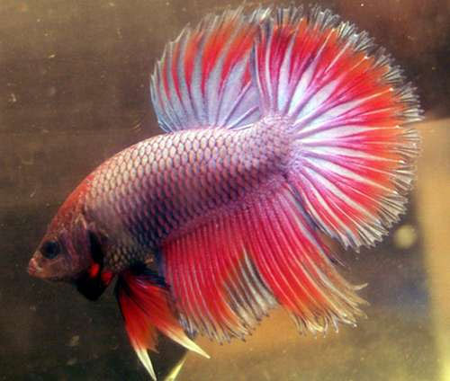 Betta fish tail types and patterns live tropical fish for What kind of fish can live with a betta