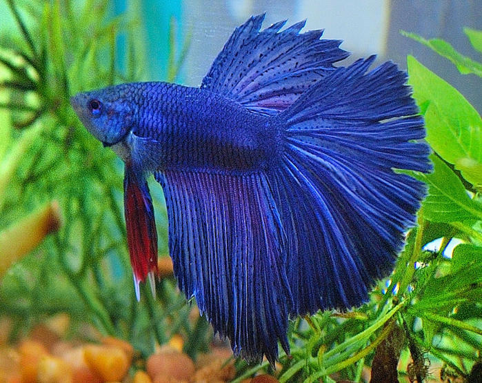 Betta fish tail types and patterns live tropical fish for Male veiltail betta fish