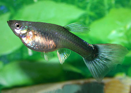Male Guppy fish
