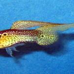 swordtail guppy