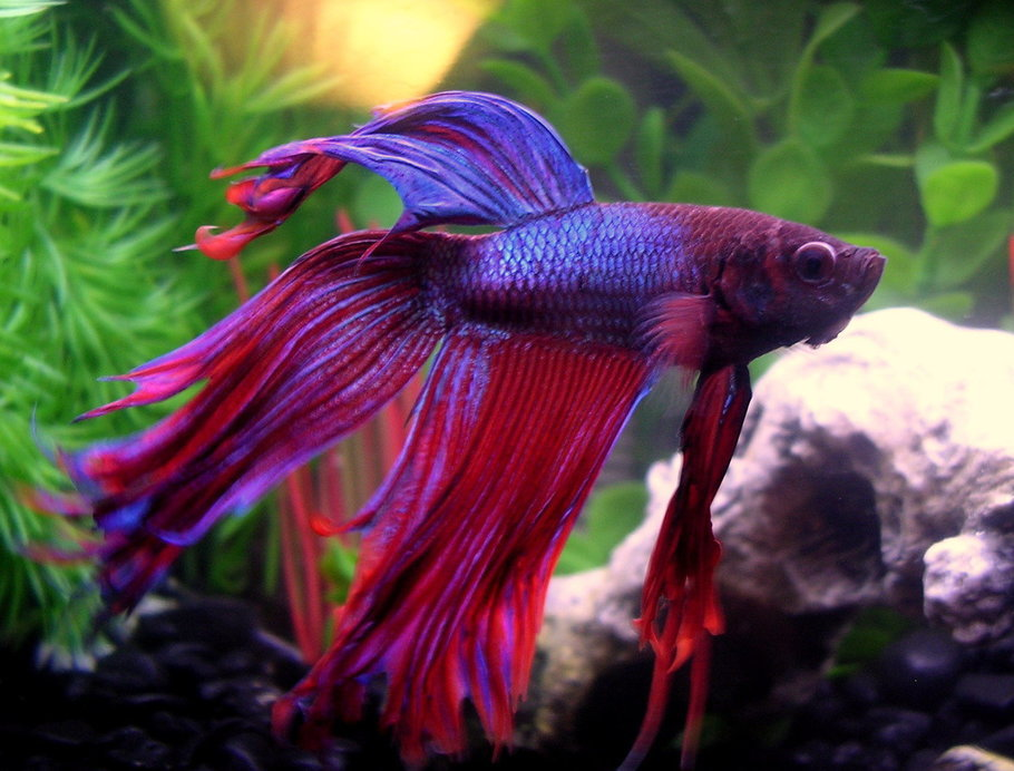 Betta colour patterns live tropical fish for Can bettas live with other fish