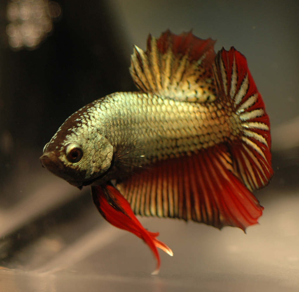 Gold red dragon betta live tropical fish for Red betta fish