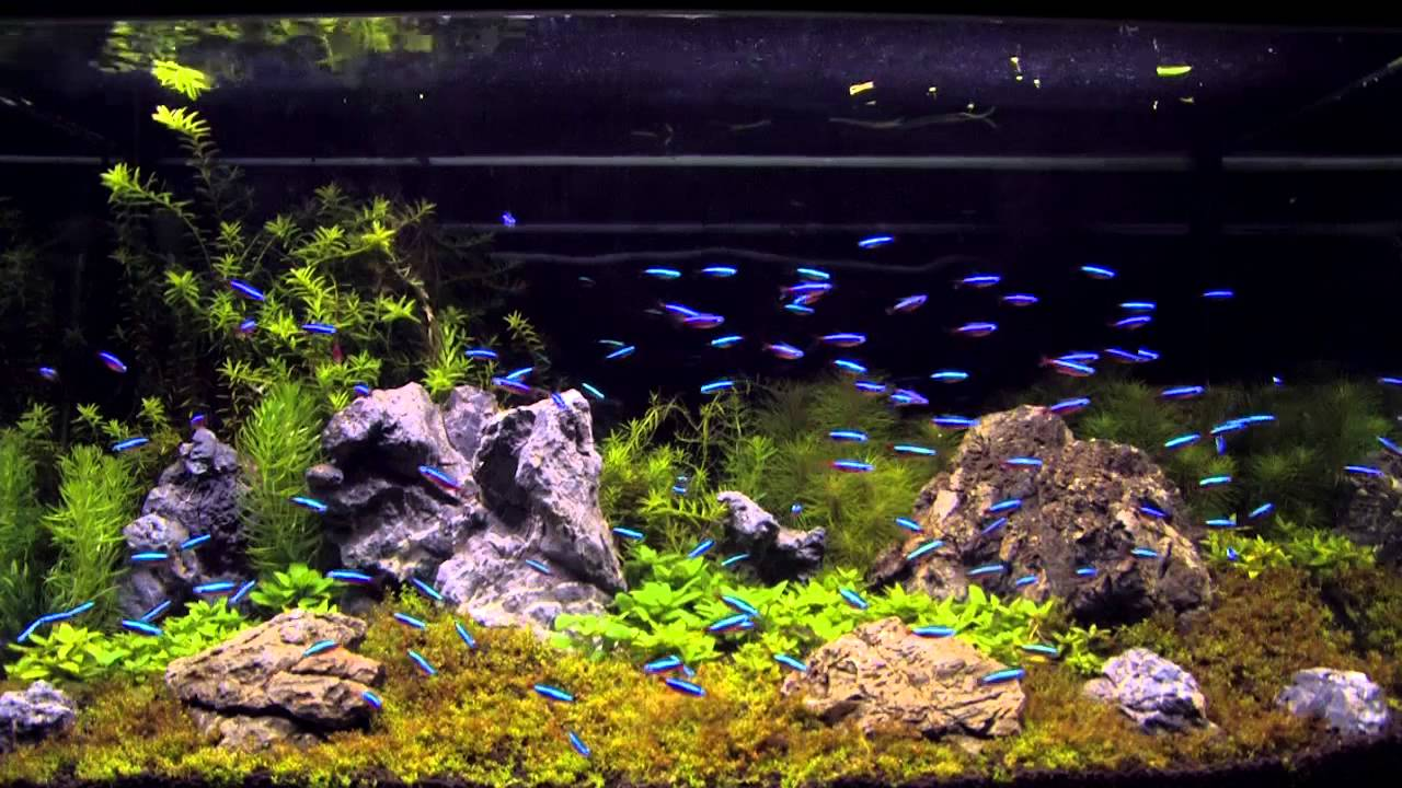 Neon tetra 4 live tropical fish for Tetra fish tanks