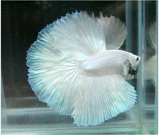 Betta Colour Patterns - Live tropical fish Rare Freshwater Fish