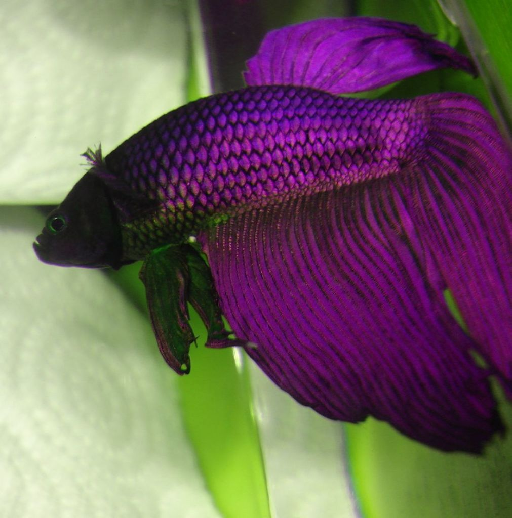 purple betta fish 2 live tropical fish