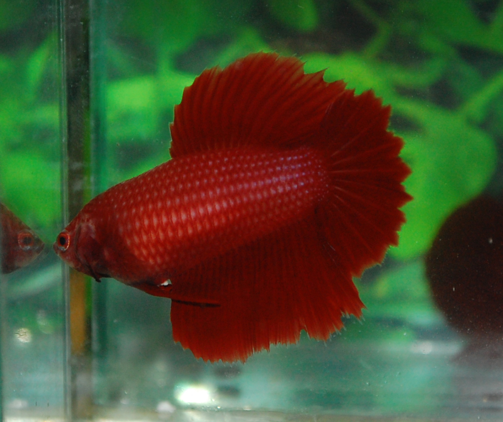 Betta colour patterns live tropical fish for Live tropical fish