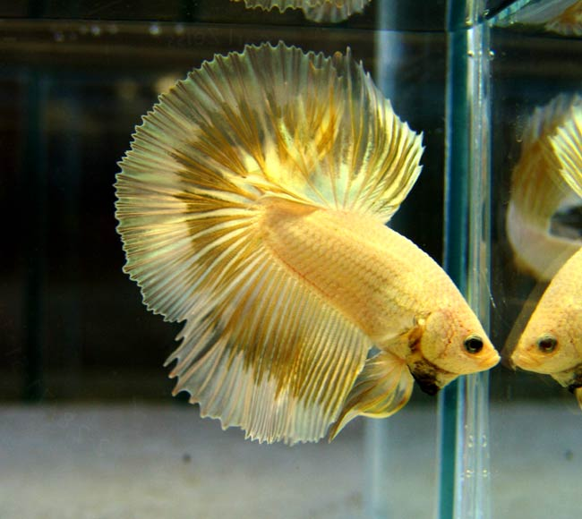 Betta colour patterns live tropical fish for Lifespan of a betta fish in captivity