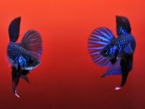 betta fighting