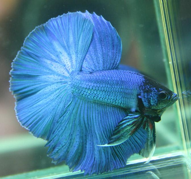 betta colour patterns live tropical fish